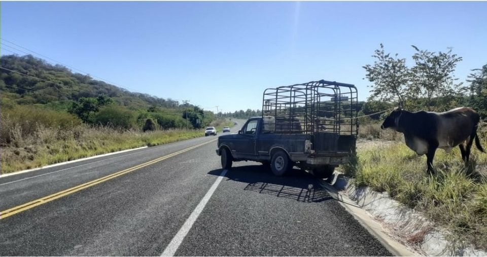 Ganado suelto causa accidentes en Coyuca, advierten